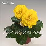 100 semillas piezas de flores Begonia, plantas raras Rose Rieger begonia chino decorativo Bonsai para jardín y balcón fáciles de plantar 16