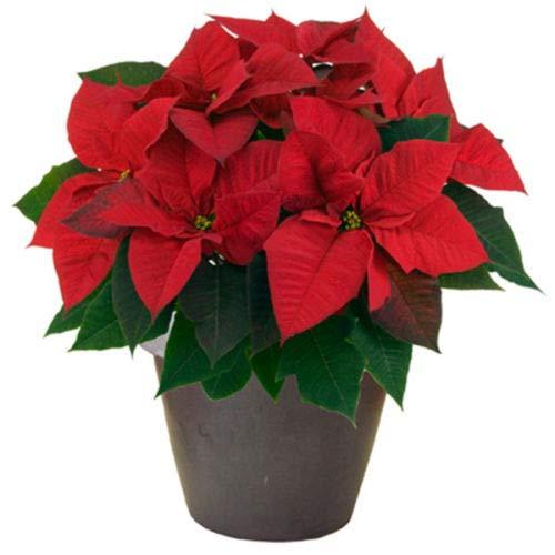 pianta stella di nataleeuphorbia pulcherrima vaso 12 vive tutto l'anno