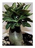Adenium arabicum Black Knight - Wüstenrose Black Knight - 3 Samen
