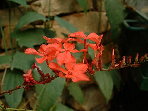 M-Tech Gardens Rare Chethikoduveli/Lal chitrak (Plumbago indica) Flower Plant - 1 Live Plant
