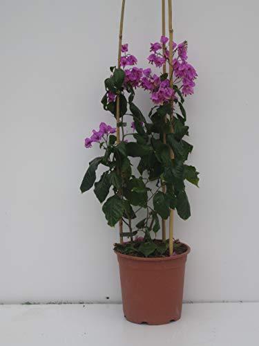 Pianta vera rampicante di bouganvillea specto-glabra violet de meze vaso 24cm