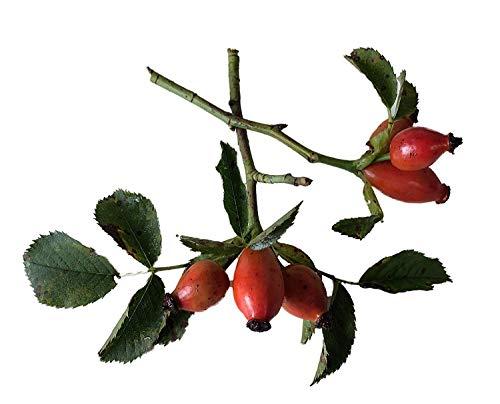 Semillas de Hierbas - Perro Rose - 50 Semillas