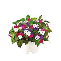 Cartuccia con semi di Impatiens (pianta del vetro o balsamina) dalla abbondante fioritura anche in zone d'ombra.