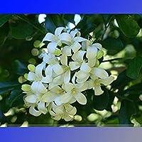 PlenTree 500 Semillas Murraya paniculata Rutaceae ~ Semillas y granjas