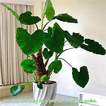 Vista 2017 neue Garten Alocasia Macrorrhiza Samen Von Blumen Bonsai Riesen Elefant Ohr Taro Dishlia Blume Pflanzen Samen 50 Teile/paket Weiß