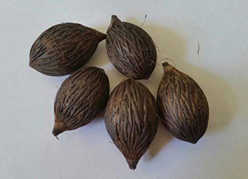 PLAT FIRM GERMINATIONSAMEN: Foxtail Palm Samen 5 frische Samen gereinigt August 2017 getrocknet Wodyetia bifurcata