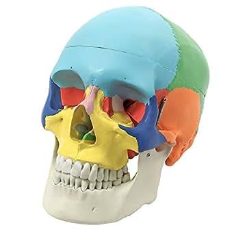 S24.2134 l'enseignement anatomique - crânes, coloré, 3 pièces