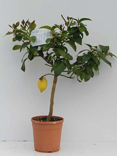 pianta vera di limone innesto basso 4 stagione