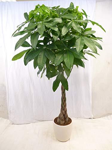 [Palmenlager] - XXL Pachira aquatica 180 cm - Glückskastanie/Zimmerpflanze -