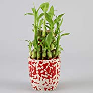 Ferns N Petals 2 Layer Lucky Bamboo Plant in Imported Ceramic Pot for | Mothers Day | Birthday | Anniversary | House Warming