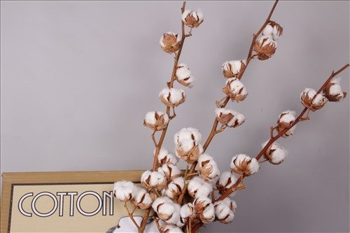 1 Zweig Baumwolle .echte Baumwolle mit 8-10 Blüten - getrocknet, 70 - 75cm +/- Dekoration - lange haltbar - Zweige - zum basteln oder als Geschenk
