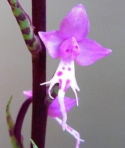 Stenoglottis fimbriata - Orchidee - Orchideen - 20 Samen
