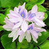 Pinkdose 100pcs / Bag giacinto d'Acqua dell'impianto Flower Garden Pond Fiori vasi Bonsai pianta Facile germinare acquatica Jardim Plantas: 1