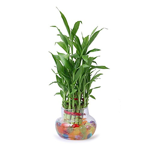 SMZ Brandlines Two Layer Lucky Bamboo Plant with big round glass pot (free seven color jelly/ crystal ball included)