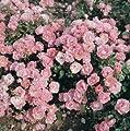 Bodend.Rose 'Sommerwind' -R- ADR-Rose, A-Qualität Wurzelware von Rosen-Union - Du und dein Garten