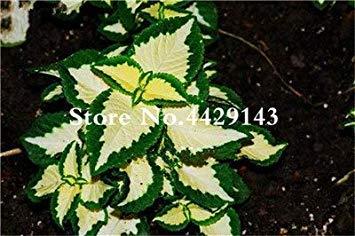 potseed . grande promozione! 100 pezzi coleus fiore pianta in vaso garden courtyard balcone terrazza rnamental piante purificano l'aria: 6