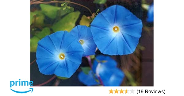 CAPPL Ipomoea Morning Glory Heavenly Blue Seeds 25 Grams
