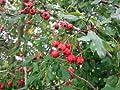 Eingriffliger Weissdorn - Crataegus monogyna - Heimische Pflanze von Native Plants von Native Plants bei Du und dein Garten