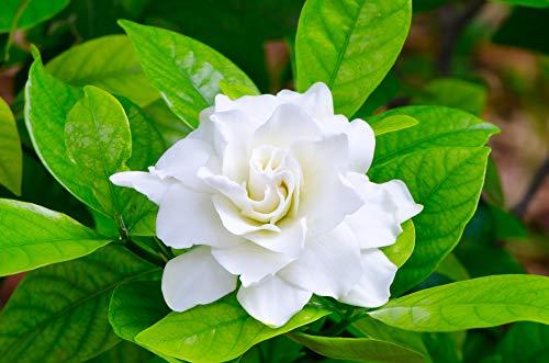 Gardenie 10 Samen, Gardenia jasminoides -Weiß, großen Blüten und süßen Duft (Jasmine Cape)
