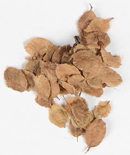 Chinesische Ulme Ulmus parvifolia 400 Samen (Samen Chinesische)