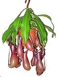 Kannenpflanze, Fleischfressende Pflanze, (Nepenthes alata) (in der 14cm Hängeampel XXL-Pflanze)
