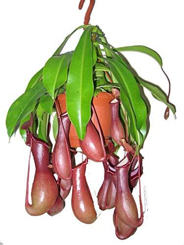 Kannenpflanze Fleischfressende Zimmerpflanze