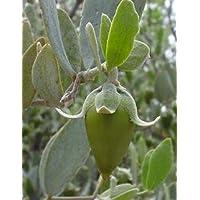 Simmondsia chinensis (Jojoba) - 5 semi
