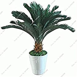 Vista Import Iron Tree Cycas Seed Tie SHU Immergrüner Strauchhain Samen Verschönerung Bonsai Blätter von Pflanzen Blumentöpfe Pflanzgefäße 5 Stück