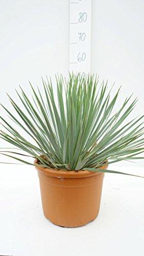 Yucca rostrata - Blaublättrige Yucca - verschiedene Größen (30-40cm - Topf Ø 12cm)