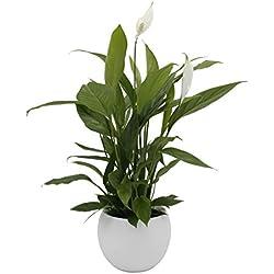 Zimmerpflanze Einblatt, Blattfahne, Spathiphyllum, ca. 40 cm hoch - mit edlem, weißen Blumentopf