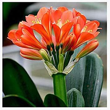 graines rares Clivia extérieur vivaces Bonsai Balcon fleurs en pot pour plantes ornementales Jardin Décor Facile à cultiver 100 pcs / sac 5