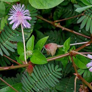 Mimosa pudica (touch-me-not) - 100 Semi