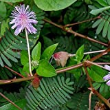 Mimosa pudica (touch-me-not) graines