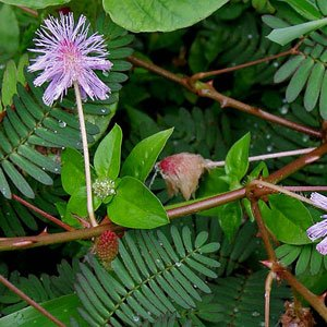 mimosa-pudica-touch-me-not-graines
