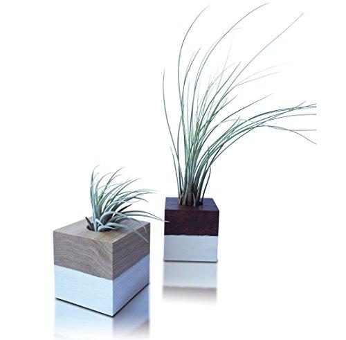 2 Tillandsien Im Set Holzwürfel Deko | Blumentopf Übertopf auf Eichen-Holz Quadrat | Luftpflanzen Deko