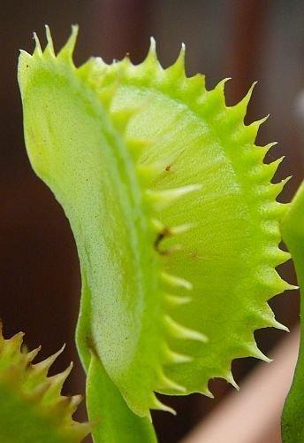 Dionaea muscipula tiger teeth - la dionée – 5 graines