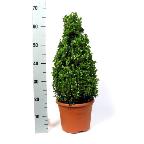 Buchsbaum Pyramide 65-70cm Buxus Kegel