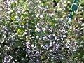 Steinquendel 'Blue Cloud' - Calamintha nepeta 'Blue Cloud' - Beetstaude von Staudengärtnerei auf Du und dein Garten