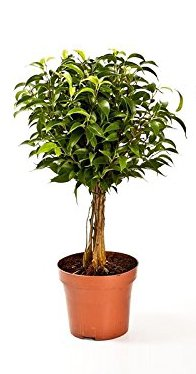 Birkenfeige Hochstamn, Ficus Babilatos, Bonsai, (Ficus babilatos), asiatischer Bonsai, verschiedene Größen (ca. 35cm hoch im 12cm Topf)