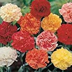 Carnation seeds are perfect to grow in the cutting garden. There is no better known flower for cutting than a Carnation! This Dianthus Chabaud Mix has tall, double, fringed flowers that have a lovely spicy scent. The foliage is clump-forming and b...