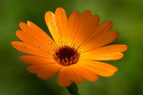graines-semences-bio-fleurs-souci-odorante-et-fleur-a-couper-pour-charmer-les-papillons-abeilles