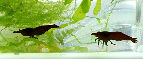 Aquarium-Garnelen im Set dunkle Garnele braun-schwarz 2Stk mit Aquarium mini und Zubehör Pflanzen Lupe Wasser Garnelen mit Pflanzen und Aquarium Kinder Erwachsene Aqua prawn shrimp Plant Einsteiger Starter Set (2Stk mini black) 5323