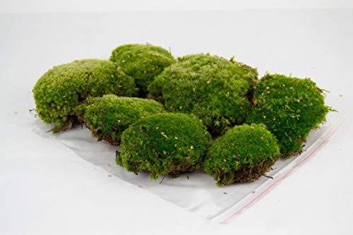 Premium Natur Kugelmoos, 6 Kugeln frisches, echtes Moos, Dekomoos, natürliches Moss, Mooskugeln, Bollenmoos, Hügelmoos, Moosballen, Prime, Dekoration, Deko, Waldmoos,