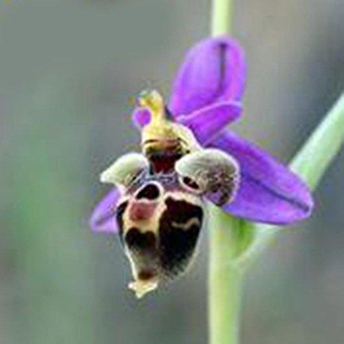 mymotto 100 pcs Orchidée Graines De Fleurs Cymbidium Graines Bonsaï Rare Graines De Fleurs Jardin