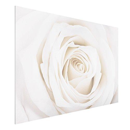 75 Fine Art Prints (Apalis FOREX Fine Art Print-Wandbild Pretty White Rose-breit 2: 3, Maße HxB: 80cm x 120cm)