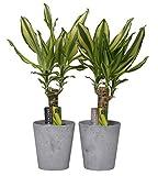 BOTANICLY | 2x Zimmerpflanze Drachenbaum Yellow Coast mit grauem Übertopf als Set | Höhe: 40 cm | Dracaena Yellow Coast