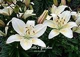 100 piezas diferentes variedades de lirio Semillas Semillas de perfume barato lirio bellos Semillas de flores Semillas Bonsai 07