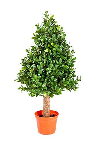 artplants Set 2 x Mini Deko-Buchsbaum Pyramiden Tom, 2432 Blätter, 50 cm – Buchsbäume künstlich/Deko Baum
