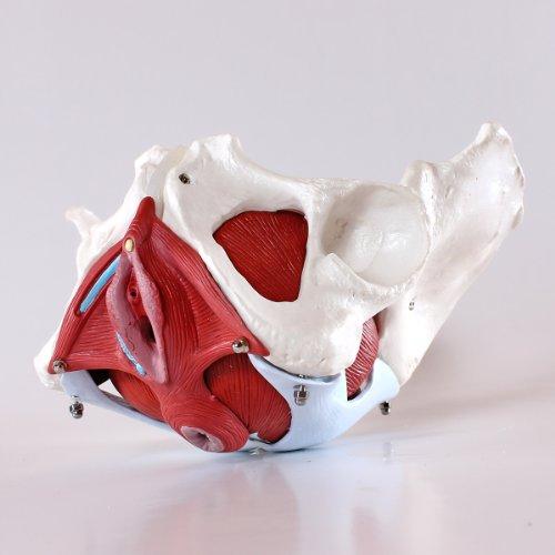 S24.3308 Modello di bacino osseo, femminile, 7 parti