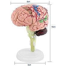 1pc que Desmonta la Visión 4D del Modelo Anatómico del Cerebro Humano, Enseñando la Anatomía